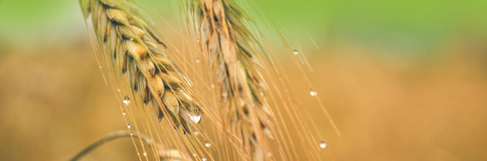amerstem-green-bio-technology-genetics-company-applications-aggriculture crops