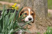 beagle e giardino foto
