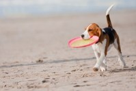 In vacanza con il Beagle: mare o montagna?