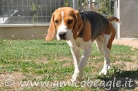 Se il Beagle zoppica foto