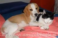 Il Beagle e gli altri animali domestici