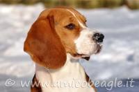 beagle e il freddo foto