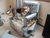 beagle distrugge casa foto