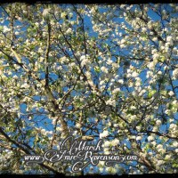 March- Bradford pear tree