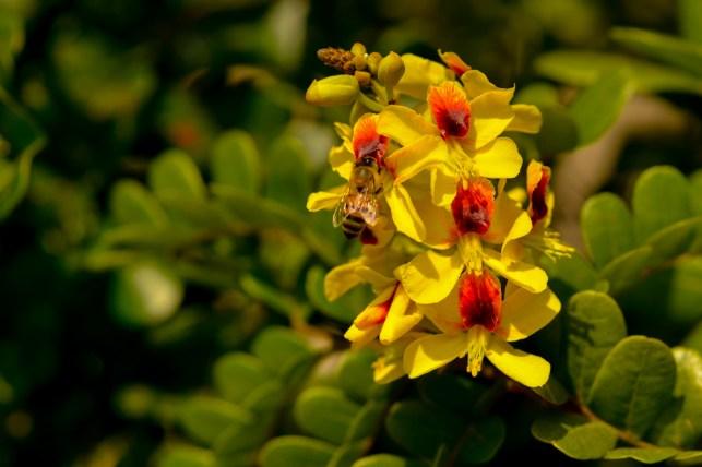 01 - Caesalpinia echinata