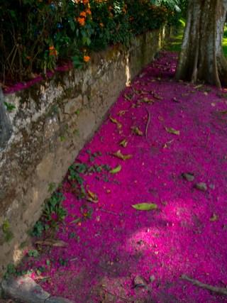 02 - Syzygium malaccensis