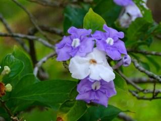 03 - Brunfelsia grandiflora
