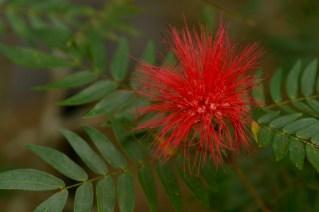 04 - Calliandra haematocephala