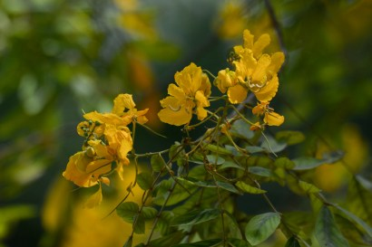 055 - Thalia geniculata
