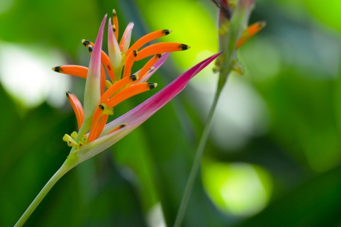 065 - Heliconia stricta