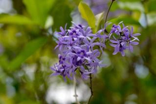 07 - Petrea racemosa