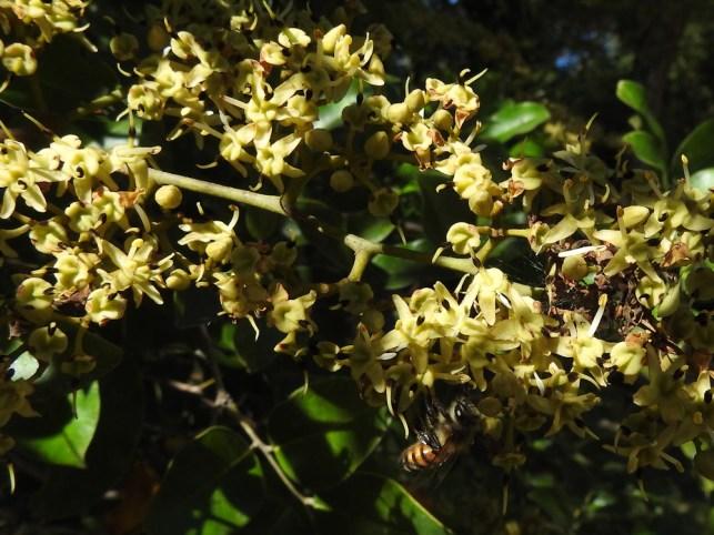08 - Diallium guineense