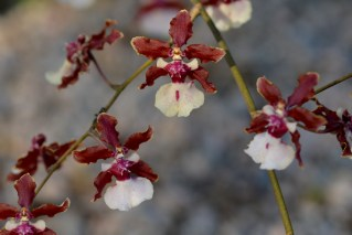 09 - Maxillaria oncidium