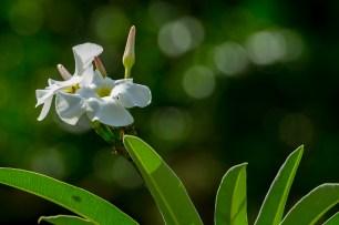09 - flor branca