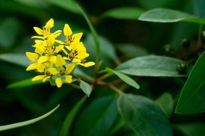 10 - Galphimia brasiliensis