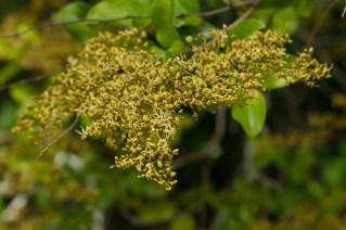 11 Diallium guineense