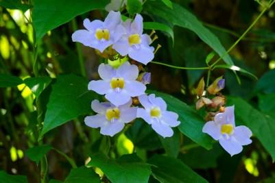 11 - Thumbergia grandiflora