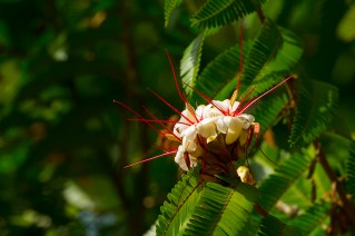 12 Elizabetha duríssima flor
