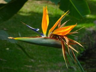 12 - Strelitzia reginae