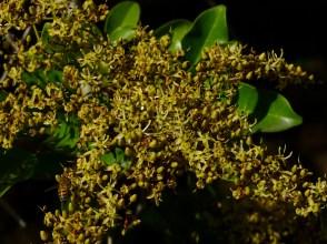 13 - Diallium guineense