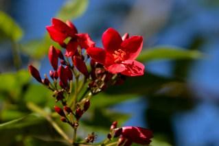 13 - Jatropha panduraefolia