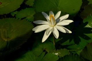 14 - Nyphaea-lotus