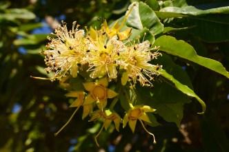 15 - Duabanga sonneratioides