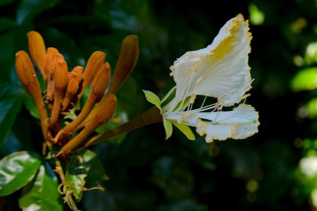 16 - Camoensia máxima