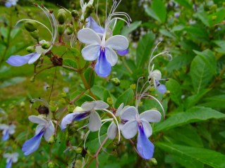 16 - Clerodendron ugandensis