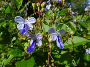 17 - Clerodendron ugandense