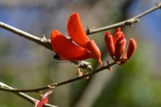 17 - Erythrina senegalensis