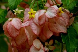 17 - Mussaenda erythrophylla
