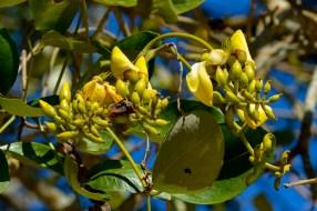 19 - Erythrina fusca