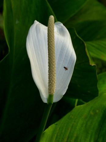 19 - Spathiphyllum cannifolium