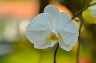 23 - Phalaenopsis