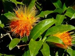 23 - Stifftia crysantha