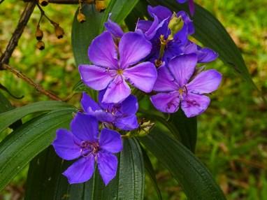 23 - Tibouchina granulosa (2)