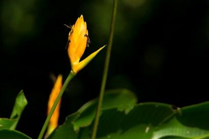 25 - Heliconia episcopalis