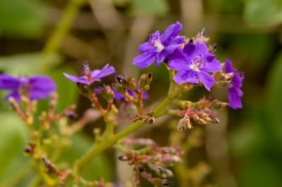 26 - Tibouchina heteromala