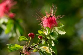 27 Calliandra sp