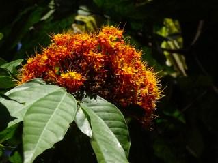 28 - Saraca thaipingensis