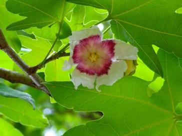 30 - Sterculiaceae