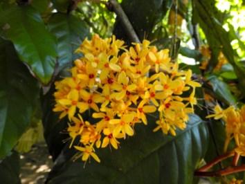 31 - Saraca thaipigensis