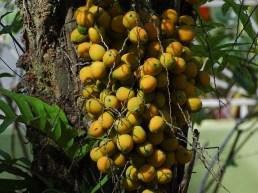 31 - Syagrus schyzophylla