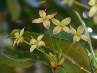 32 - Eugenia brasiliensis