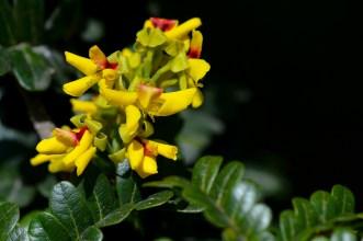 33 - Caesalpinia echinata
