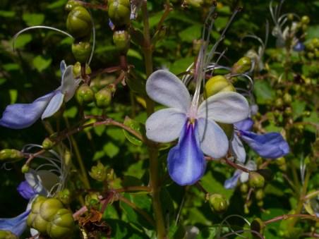 34 - Clerodendron ugandensis