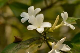 35 - Cerbera manghas