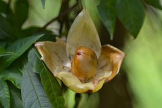 35 - Merrenia tuberosa