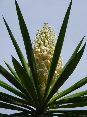 36 - Yucca aloifolia